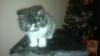 персииско котенце