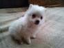 Продавам малки кученца - Немски Мини Шпиц
