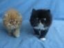 Разкошни персийски котенца