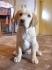 Продавам кученце женски голдън ретривър