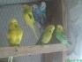 Продавам вълнисти папагали 8 лева за брой и две неразделки 30 лв за брой