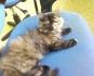 персийски котенца