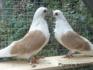 Форум на любителите на гълъби