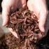 Продава червени калифорнийски червеи и биотор