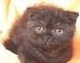 Шотландско кафяво мъжко котенце