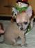 Чихуахуа чистокръвно бебе момче . Предлага се кученцето от снимките