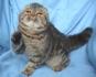 Шотландско клепоухо женско коте