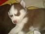 Бебета Сибирско Хъски родени на 22.12.2014г.