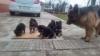 Продавам кученца Немска овчарка