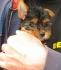 Йоркшир териер прекрасни мини  бебета .Реални снимки
