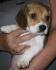 Бигъл (декоративен) предлага се кученцето от снимките