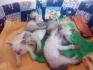 Продавам Сиамски котенца