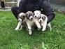 Продавам малки кученца САО-Алабай