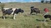 Продавам елитни крави