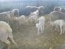 Овцеферма CASA DEL LATTE град Обзор продава чистокръвни мъжки агнета