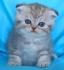 Синьо таби - клепоухо мъжко котенце