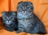 Късокосмести клепоухи таби котенца
