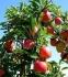 Селскостопански Работници - Ябълки