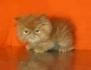 Персийски котета - екстемали.