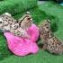 F1 Савана котенца за осиновяване