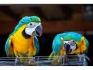 Папагали за осиновяване